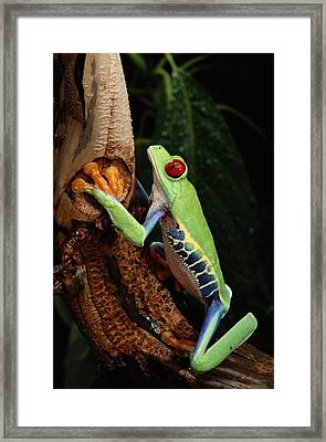 A Red-eyed Tree Frog Agalychnis Framed Print by George Grall