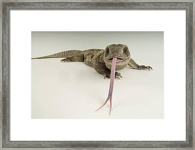 A Savanna Monitor Lizard Varanus Framed Print by Joel Sartore