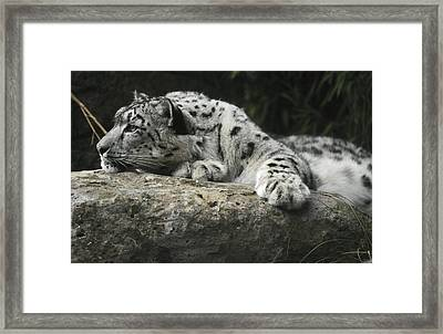 A Snow Leopard Takes Time Out To Rest Framed Print by Jason Edwards