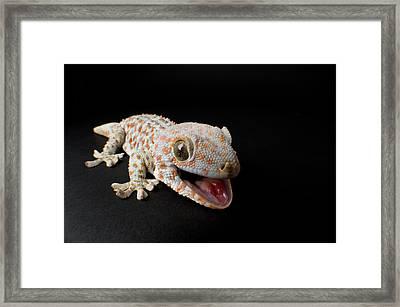 A Tokay Gecko Gekko Gecko At The Sunset Framed Print by Joel Sartore