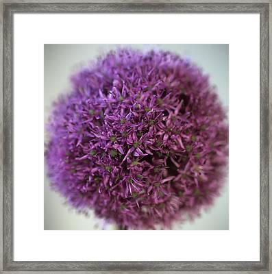 Allium Flower (allium Sp.) Framed Print by Cristina Pedrazzini