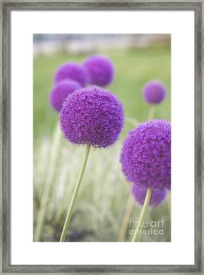 Allium Hollandicum Framed Print by Roberto Morgenthaler