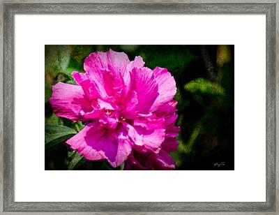 Althea Blossom Framed Print by Barry Jones