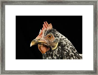 An Ancona Chicken At The Soukup Farm Framed Print by Joel Sartore