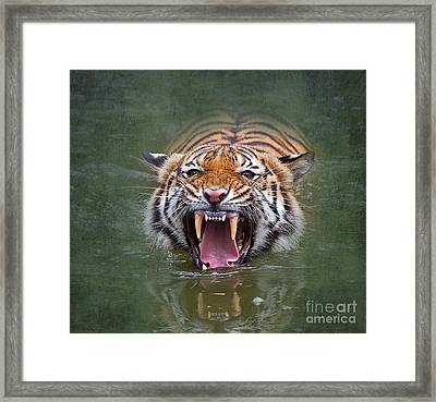 Angry Tiger Framed Print by Louise Heusinkveld