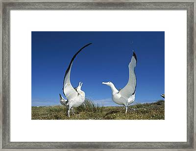 Antipodean Albatross Diomedea Framed Print by Tui De Roy