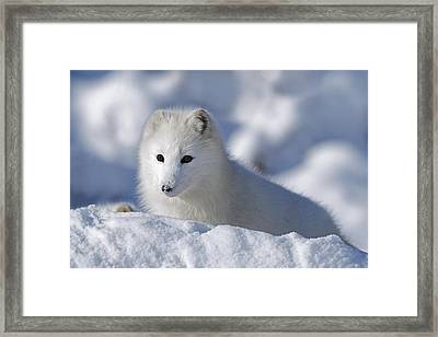 Arctic Fox Exploring Fresh Snow Alaska Framed Print by David Ponton