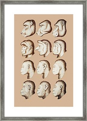 Artwork Of Twelve Catarrhines, 1870 Framed Print by Mehau Kulyk