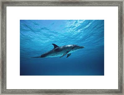 Atlantic Spotted Dolphin Stenella Framed Print by Todd Pusser