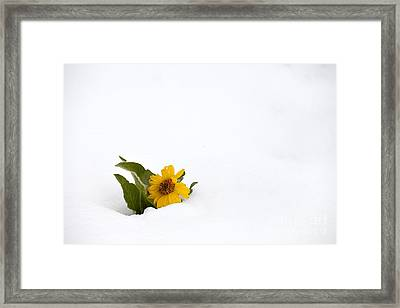 Balsamroot In Snow Framed Print by Hal Horwitz and Photo Researchers