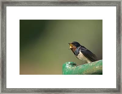 Barn Swallow Hirundo Rustica Fledgling Framed Print by Cyril Ruoso