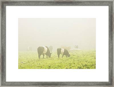 Belted Galloway Cows Grazing On Foggy Farm Field Maine Framed Print by Keith Webber Jr