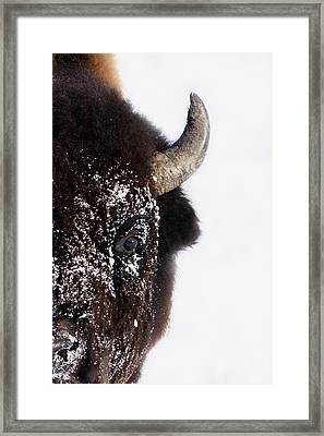 Bison In Winter Framed Print by Richard Wear