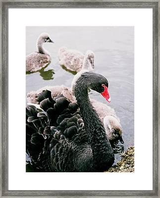 Black Swan Framed Print by William Walker