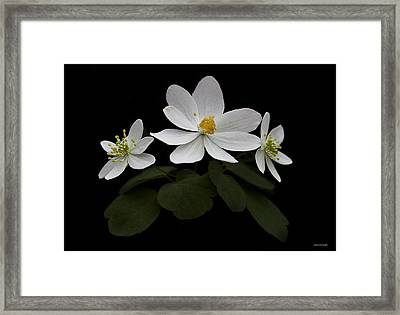 Bloodroot Framed Print by Ron Jones