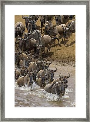 Blue Wildebeest Connochaetes Taurinus Framed Print by Suzi Eszterhas