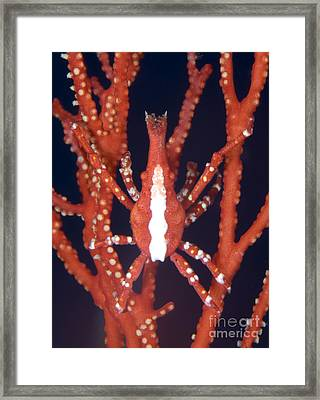 Bright Red Crab On Fan Coral, Papua New Framed Print by Steve Jones