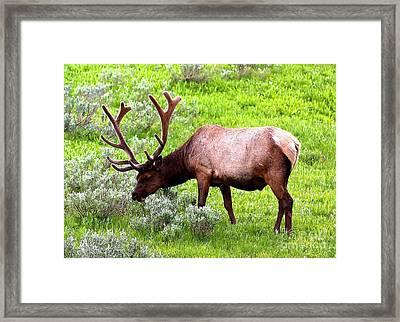 Bull Elk Framed Print by Carol Groenen