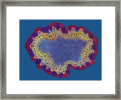 Burdock Stem, Light Micrograph Framed Print by Dr Keith Wheeler