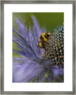 Busy Bee On A Thistle Framed Print by Zoe Ferrie