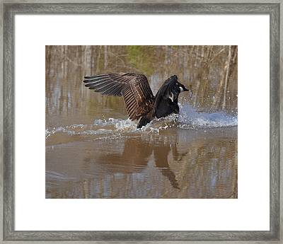 Canada Goose Landing C0255a Framed Print by Paul Lyndon Phillips