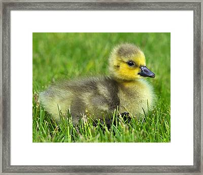 Canada Gosling Framed Print by Tony Beck