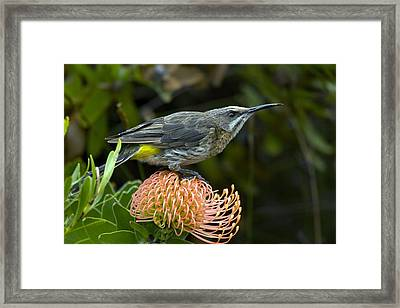 Cape Sugarbird On A Flower Framed Print by Bob Gibbons
