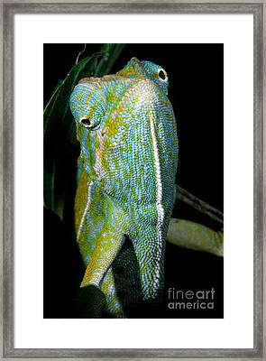 Carpet Chameleon Framed Print by Dante Fenolio
