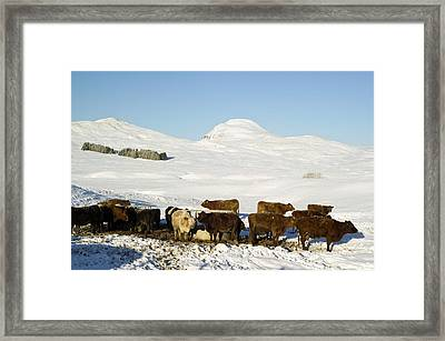 Cattle In The Scottish Highlands Framed Print by Duncan Shaw