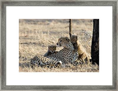 Cheetah Mother And Cubs Framed Print by Gregory G. Dimijian, M.D.