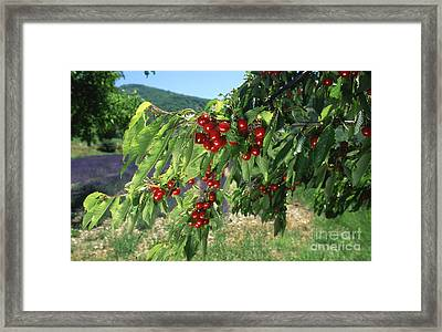 Cherry Tree Framed Print by Bernard Jaubert