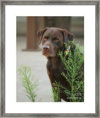 Chocolate Labrador - Womans Best Friend Framed Print by Donna Greene