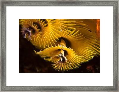Christmas Tree Worms On The Ocean Floor Framed Print by Tim Laman