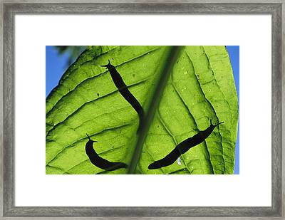 Close View Of Banana Slugs Silhouetted Framed Print by Joel Sartore