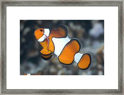 Clown Anemonefish Framed Print by Georgette Douwma