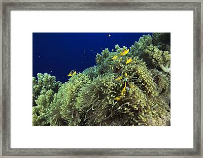 Clown Fish Framed Print by Alexis Rosenfeld