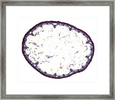 Common Rush Stem, Light Micrograph Framed Print by Dr Keith Wheeler