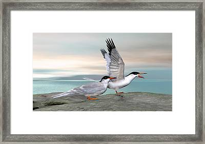 Common Tern Framed Print by Walter Colvin