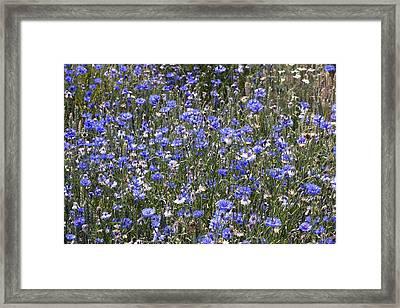 Cornflowers (centaurea Cyanus) Framed Print by Bob Gibbons
