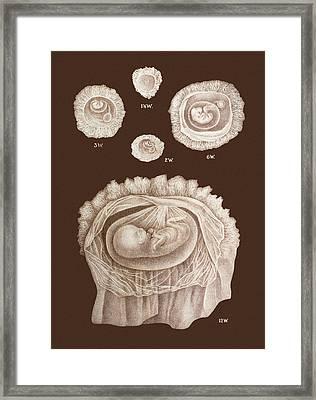 Development Of A Foetus In A Womb, 1891 Framed Print by Mehau Kulyk