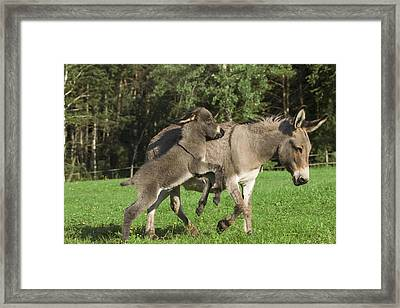 Donkey Equus Asinus Adult With Foal Framed Print by Konrad Wothe