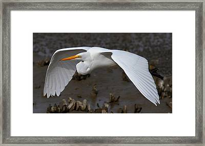 Egret Flight Framed Print by Phil Lanoue