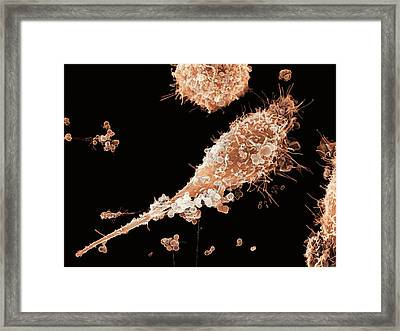 Epithelial Gonorrhoea Infection, Sem Framed Print by