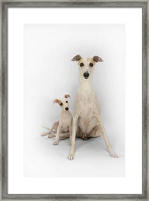 Father And Son Whippets Framed Print by John Clum