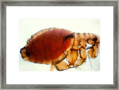 Flea Infected With Plague Framed Print by Science Source