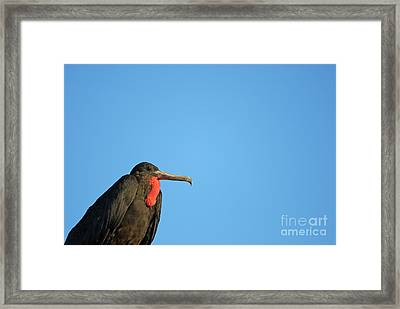 Flying Great Frigate Framed Print by Sami Sarkis