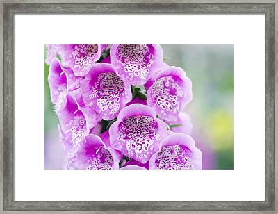 Foxglove( Digitalis Purpurea Excelsior) Framed Print by Jon Stokes