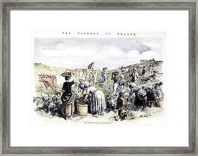 France: Grape Harvest, 1854 Framed Print by Granger
