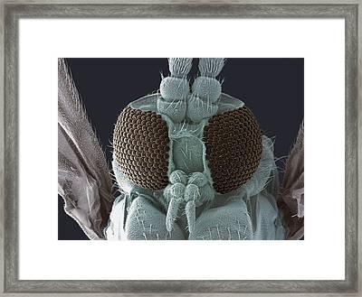 Fungus Gnat Head, Sem Framed Print by Steve Gschmeissner