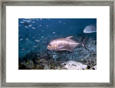 Giant Trevally Framed Print by Georgette Douwma